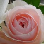 高芯咲きとカップ咲き